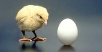 Kokoska ili jaje? 1