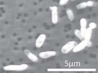 "Slika GFAJ-1 ""hranjenog"" fosforom"