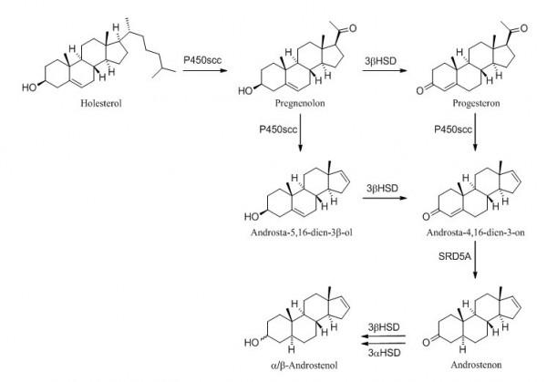 Биосинтеза α/β-андростерола/андростенона из холестерола.