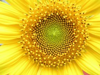 Spirale u cvetu suncokreta (Foto: L. Shyamal / Wikipedia)